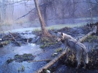 Natura rozkwita w skażonej zonie Czarnobyla