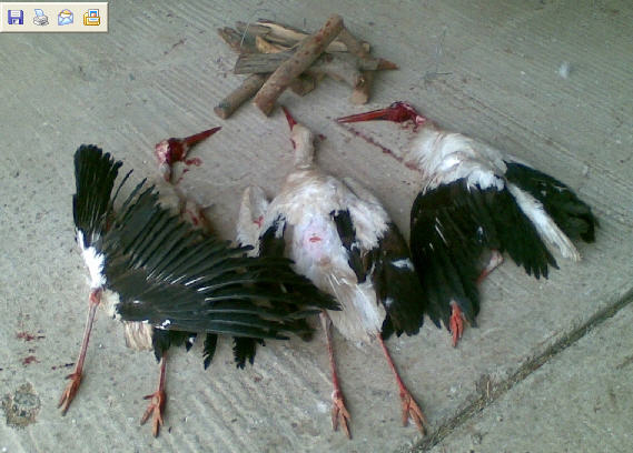 Zabijanie bocianów